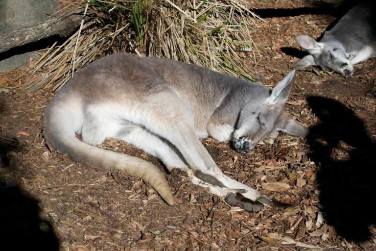 Female kangaroo