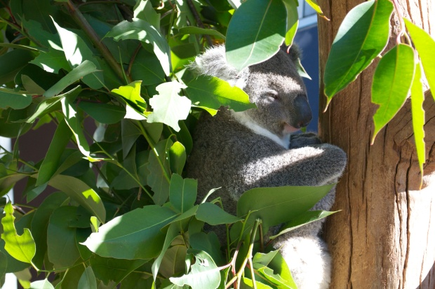 Koala at Taronga Zoo