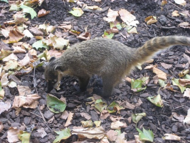 Coatimundi at London Zoo