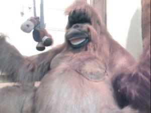 Lifesize cuddly orangutan