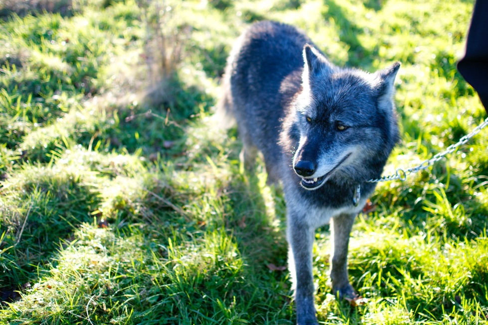 Black wolf at the UK Wolf Conservation Trust