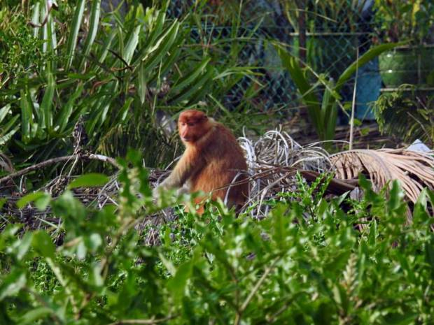 The endangered proboscis/long-nosed monkey. © 2016 Freme.