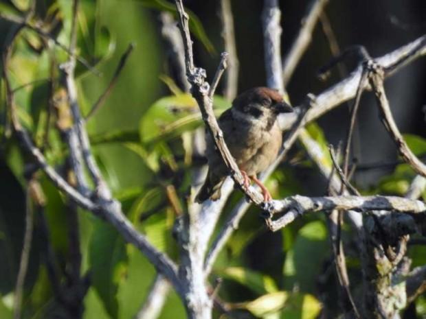 Eurasian-Tree-Sparrow-768x576